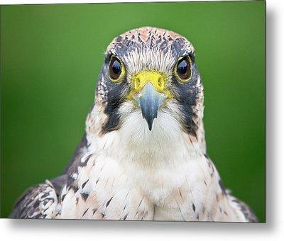 Portrait Of Peregrine Falcon Metal Print by Michal Baran