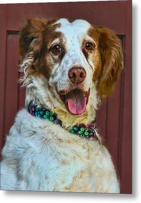 Portrait Of Springer Spaniel Dog Metal Print