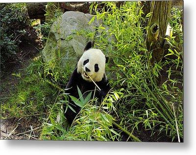 Posing Panda Metal Print by John  Greaves