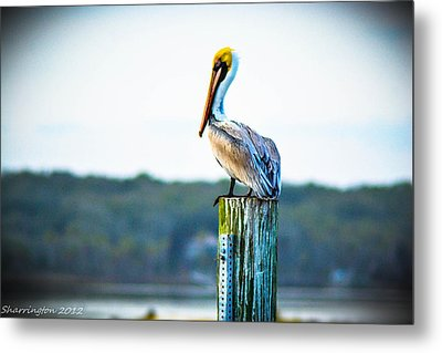 Metal Print featuring the photograph Posing Pelican by Shannon Harrington