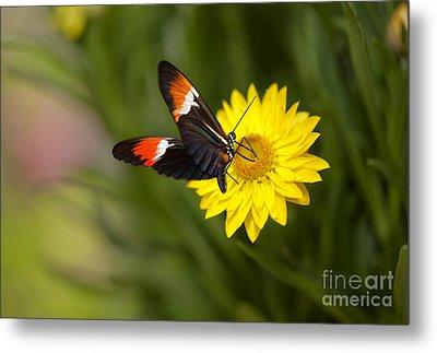 Postman Butterfly On Yellow Straw Flower Metal Print