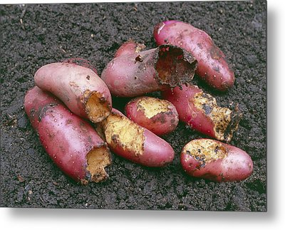 Potatoes Eaten By Pests Metal Print by Maxine Adcock