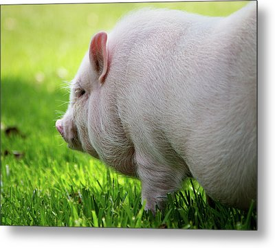 Potbelly Pig Metal Print by Christopher Jenkins  c/o www.luckyshotphotos.com