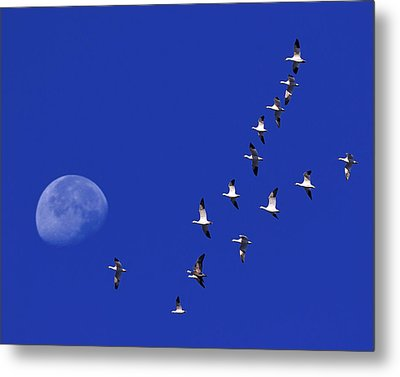 Prairie Migration Metal Print by Tony Beck