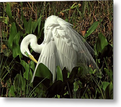 Preening Egret Metal Print by Peg Urban