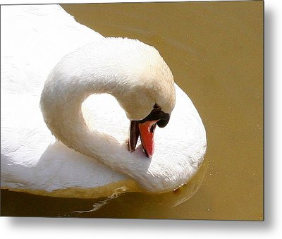 Metal Print featuring the photograph Preening Swan Two by Paula Tohline Calhoun