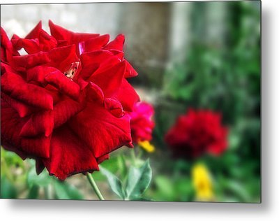 Pretty Red Rose Metal Print by Dumindu Shanaka