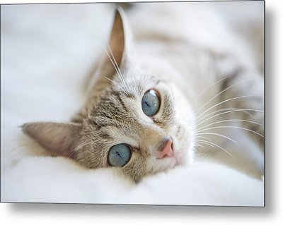 Pretty White Cat With Blue Eyes Laying On Couch. Metal Print by Marcy Maloy