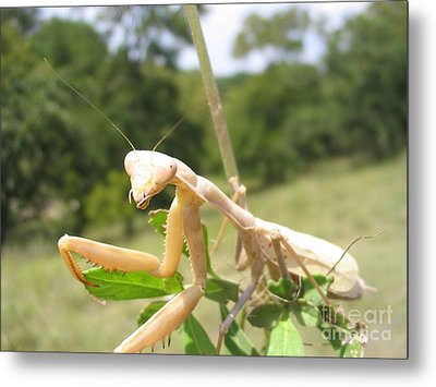Preying Mantis Metal Print by Mark Robbins