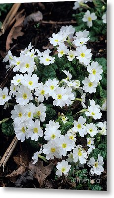 Primroses Metal Print by Adrian Thomas