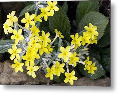 Primula Verticillata Flowers Metal Print by Bob Gibbons