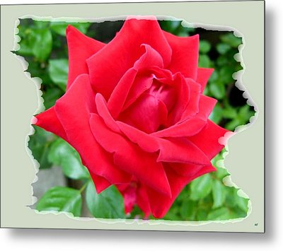 Prince Charles Rose Metal Print by Will Borden