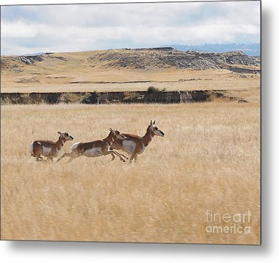 Pronghorn Antelopes On The Run Metal Print by Art Whitton