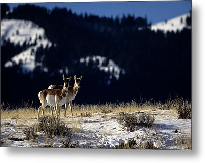 Pronghorn (antilocarpa Americana) Metal Print by Altrendo Nature