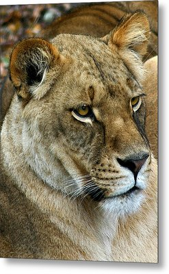 Proud Lioness Metal Print by Cindy Haggerty