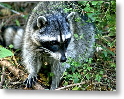 Metal Print featuring the photograph Pt. Defiance Raccon by Rob Green