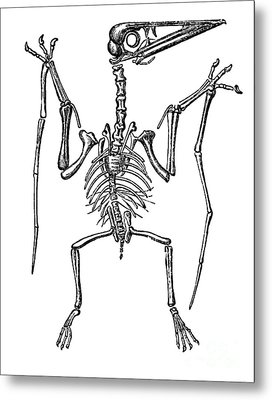 Pterodactylus, Extinct Flying Reptile Metal Print by Science Source