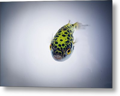 Puffer Fish Metal Print by Rich Johnson of Spectacle Photo