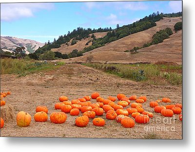 Pumpkins Of Marin Metal Print by K L Kingston