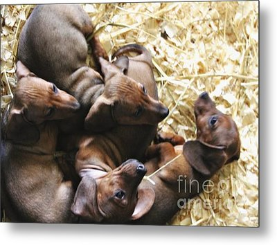 Puppies Metal Print by Brian  Seidenfrau