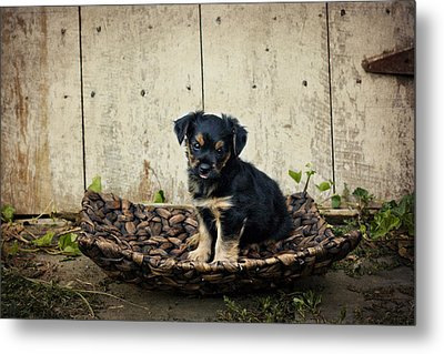 Puppy In A Tray Metal Print