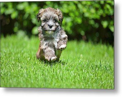 Puppy Running On Grass Metal Print by @Hans Surfer