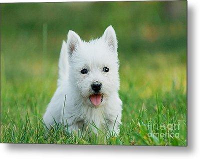 Puppy West Highland White Terrier Metal Print by Waldek Dabrowski