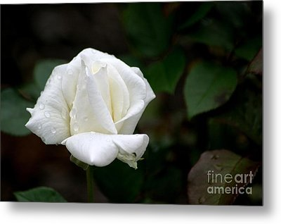 Pure As Snow Metal Print by Living Color Photography Lorraine Lynch