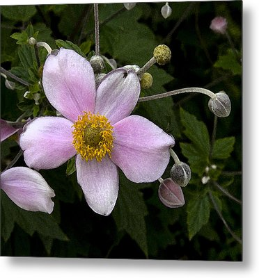 Metal Print featuring the photograph Purple Anemone II by Michael Friedman