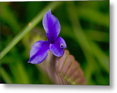 Purple Bromeliad Flower Metal Print by Douglas Barnard