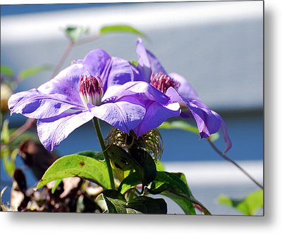 Metal Print featuring the photograph Purple Clematis by Linda Cox