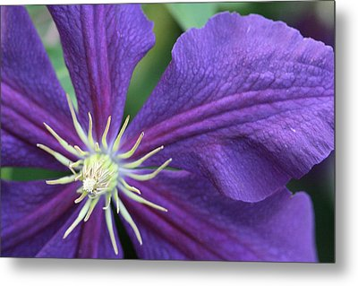 Metal Print featuring the photograph Purple Clematis by Peg Toliver