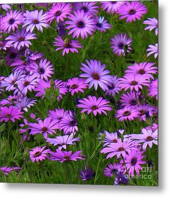 Purple Daisies Square Metal Print by Carol Groenen