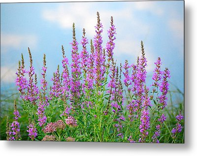 Purple Loosestrife II Metal Print by Mary McAvoy