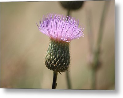 Metal Print featuring the photograph Purple Thistle by Donna  Smith