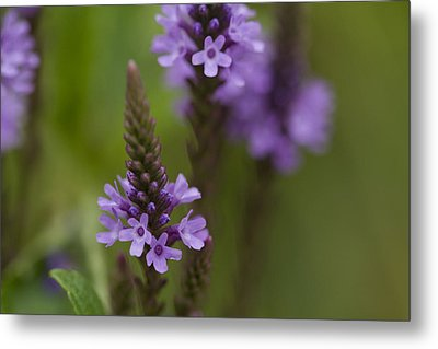 Purple Wildflower Metal Print by Dean Bennett