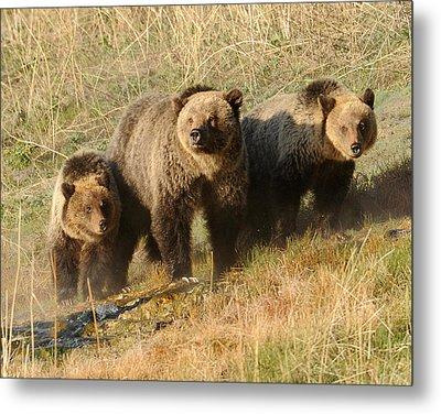 Quad Mom At Mammoth Terraces I Metal Print by Amy Gerber