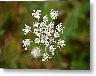 Queen Anne's Lace Metal Print by Mary McAvoy