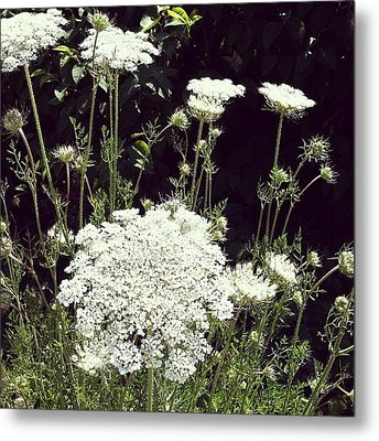 Queen Anne's Lace Metal Print by Michelle Calkins