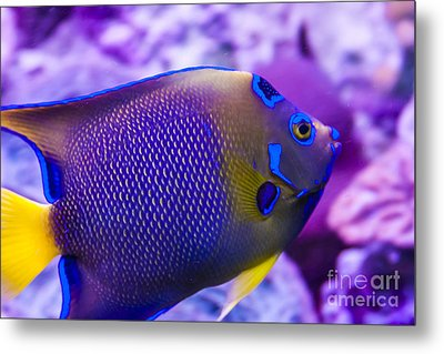 Quenn Angelfish Metal Print by Scotts Scapes