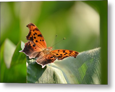 Metal Print featuring the photograph Question Mark Butterfly by JD Grimes