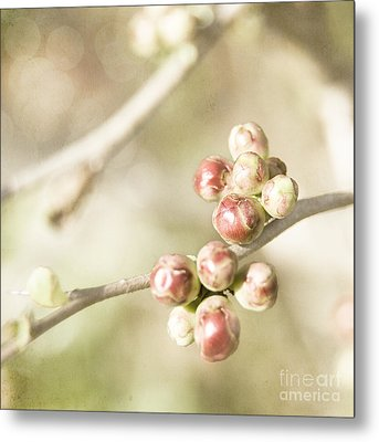 Quince Buds Close-up Metal Print by Agnieszka Kubica
