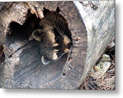 Metal Print featuring the photograph Raccoon In Hiding by Kathy  White