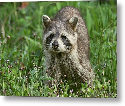 Metal Print featuring the photograph Raccoon Looking For Lunch by Myrna Bradshaw