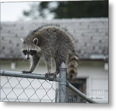 Metal Print featuring the photograph Raccoon  by Yumi Johnson