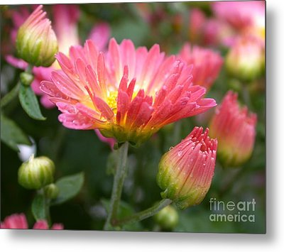 Rainbow Mums Metal Print by Living Color Photography Lorraine Lynch