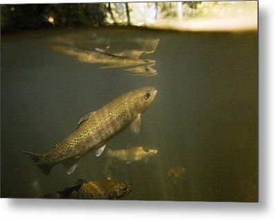 Rainbow Trout In Creek  Aptos California Metal Print by Sebastian Kennerknecht