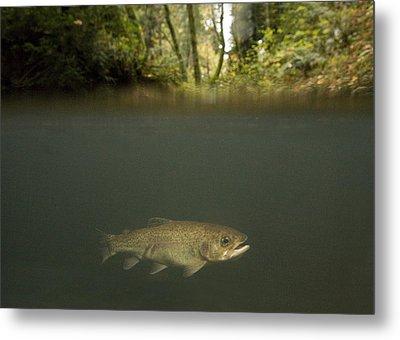 Rainbow Trout In Creek In Mixed Coast Metal Print by Sebastian Kennerknecht