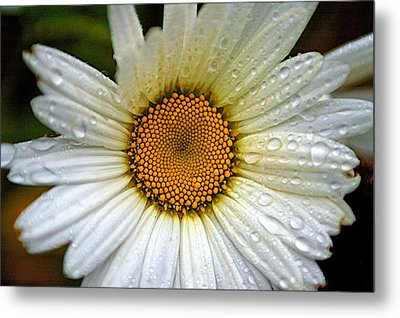 Raindrops On A Daisy Metal Print by Andre Faubert