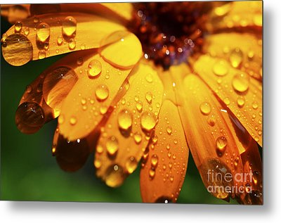 Raindrops On Daisy Metal Print by Thomas R Fletcher